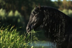 Friesian horse, black suit with curly black mane on a summer pasture
