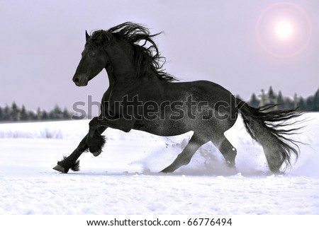 Friesian horse gallop in winter