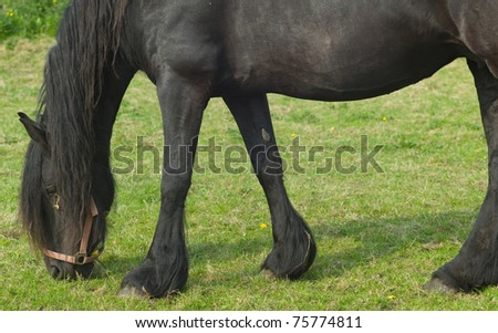 Friesian horse grazing