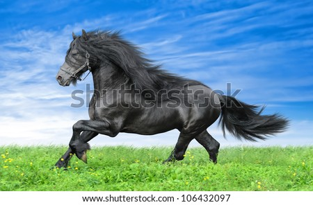Friesian horse on the blue sky background