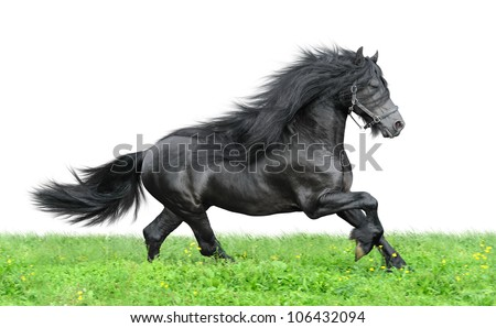 Friesian horse on the green sky and white background