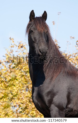 Friesian horse poses on autumn background