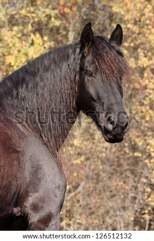 Friesian horse poses on autumn background - stock photo