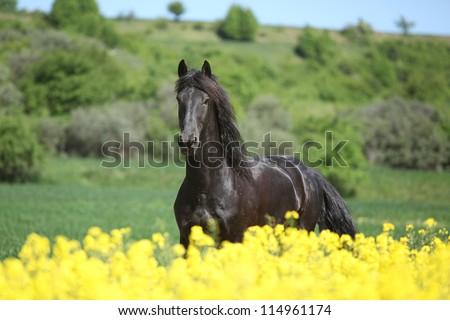Friesian Horses Running Friesian Horse Running
