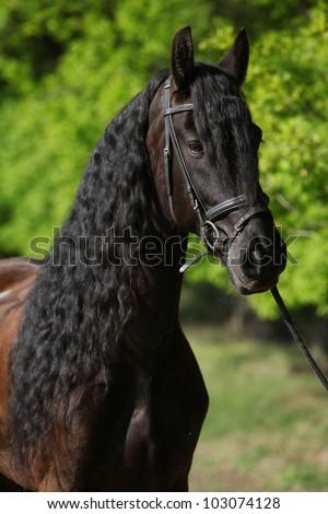 Friesian horse wit long hair