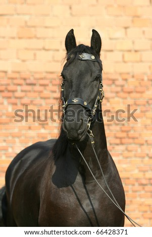 Friesian mare looking