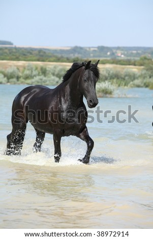 Friesian mare moving in the water