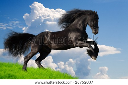friesian stallion gallop in summer