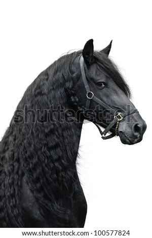 Stock Photo Friesian stallion on a white background