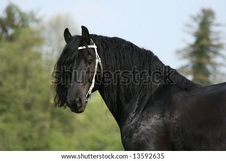 Friesian stallion with white bridle