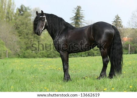 Friesian stallion with white bridle