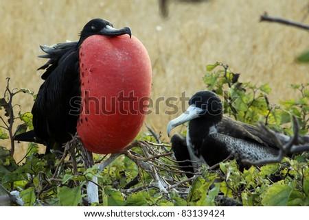 Frigate Bird courting display, Galapagos Islands - stock photo