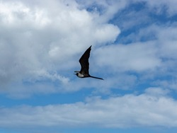 Frigate bird flying in the sky and clouds.