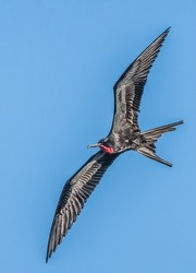 Frigate bird Frigatebirds are a family of seabirds called Fregatidae which are found across all tropical and subtropical oceans.