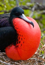 Frigate bird on a nest with goiter scarlet. Galapagos Islands. An excellent illustration. South America.