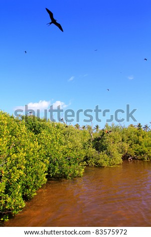 frigate bird reproduction in Contoy island mangroves Quintana Roo