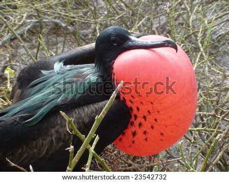 Frigate Bird with Inflated Red Pouch