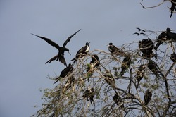 Frigate birds looking for a space in the tree in Tumbes - PERU