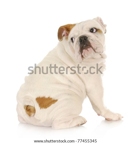 frightened puppy - english bulldog with scared expression looking over shoulder