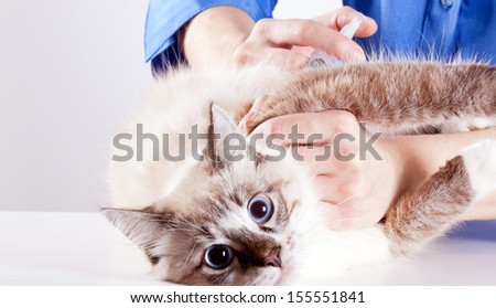 frightened young blue-eyed furry cat veterinarian makes an injection