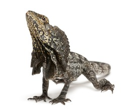 Frill-necked lizard also known as the frilled lizard, Chlamydosaurus kingii, in front of white background