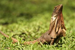 Frill-necked Lizard,  Chlamydosaurus kingii, australia