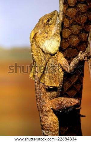 Frill necked lizard (dragon) on a tree trunk.