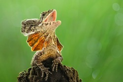 frilled dragon lizard