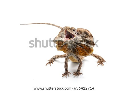 frilled lizard isolated on white background