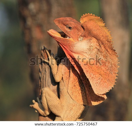 Frilled Lizard on Tree (Chlamydosaurus kingii)