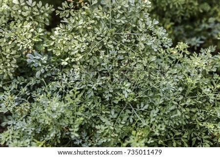 Fringed rue plant green foliage closeup from above
