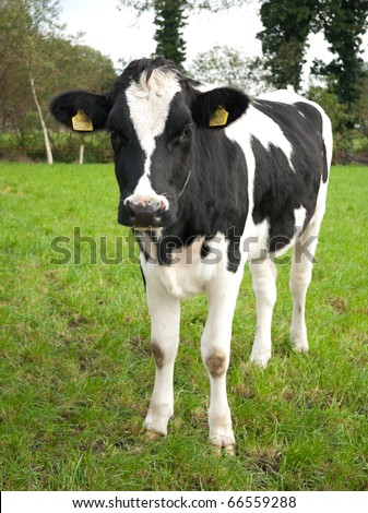 frisian calf looking curious at the photographer
