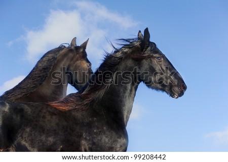 frisian horses against the blue sky