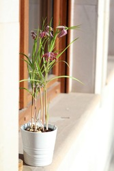 Fritillaria meleagris called snake's head fritillary in a white ceramic pot on the windowsill