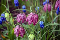 Fritillaria meleagris is a Eurasian species of flowering plant in the lily family. Its common names include snake's head fritillary, snake's head , chess flower, frog-cup, guinea-hen flower.