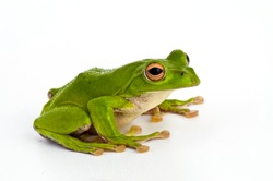 frog,
