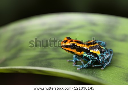 frog Amazon rainforest Peru, poison dart frog Ranitomeya ventrimaculata small tropical amphibian kept in rain forest terrarium