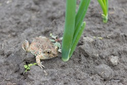 Frog, an earthen toad sits on the ground near a green onion.