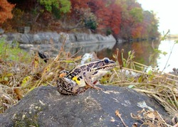 Frog and pond - Leopard Frog look-alike, Lithobates palustris, overlooking and ready to jump into a beautiful lake and trees with autumn/fall colors