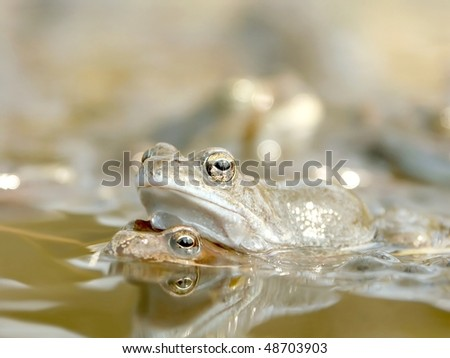 Frog carry other in the forest pond. Photo taken in spring. - stock photo