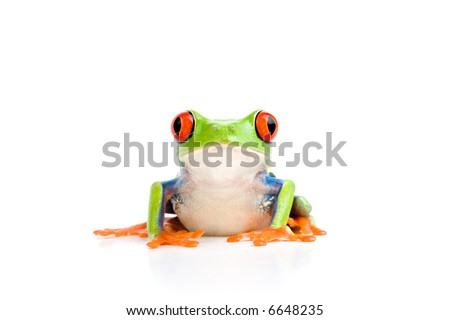 frog closeup - a red-eyed tree frog isolated on white