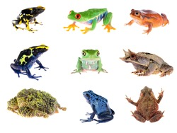 Frog compilation. Red-eye tree frog, Blue dyeing dart frog, The false tomato frog, The long-nosed horned frog, Green waxy monkey leaf frog, Bony-headed toad, The Mossy Frog.