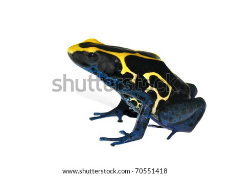 Frog Dendrobates tinctorius on the white background