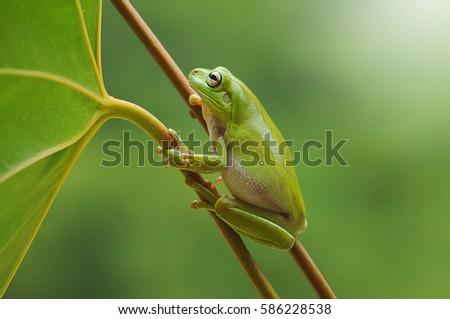 frog, dumpy frog, tree frog, frog on the leaves,