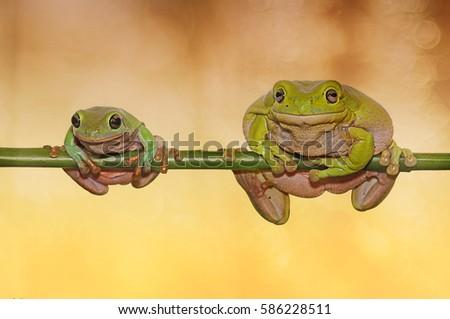 frog, dumpy frog, tree frog, two frog,