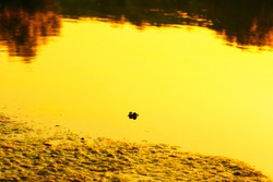 Frog eyes sticking out of water . Swamp in the twilight