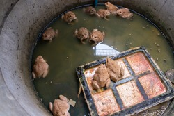 Frog farming, edible frog in Cement Tank