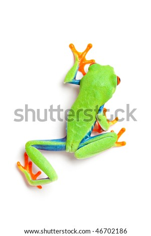 frog from above crawling close up isolated on white background - red-eyed tree frog (Agalychnis callidryas)