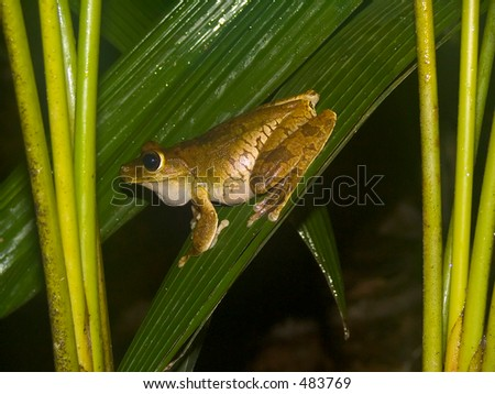 Frog from Costa Rica - stock photo