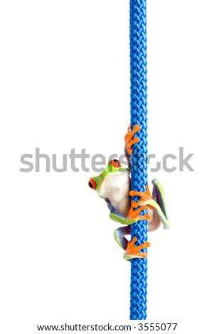 frog hanging on a rope - a red-eyed tree frog (Agalychnis callidryas) hanging on a blue rope, closeup isolated on white
